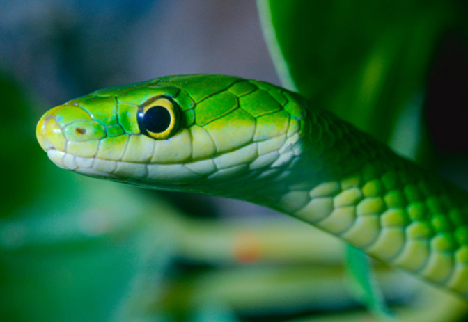 rough-green-snake_IMAGE
