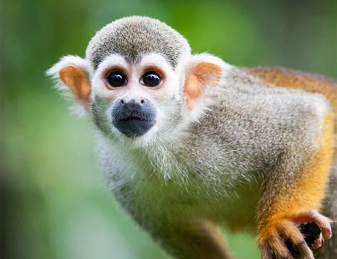 squirrel monkey_IMAGE